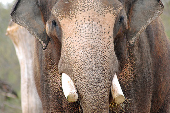 Rex, OKC Zoo's bull elephant and sire of Asha's new baby. (provided)